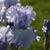 Iris: iris germanica 'hilltop view'