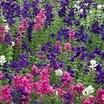 annual purple sage