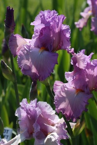 Iris, tall bearded, 'i've got a secret'