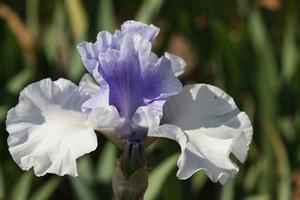 Iris, tall bearded, 'in reverse'
