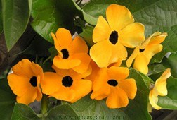 Annuals_thunbergia_alata.full