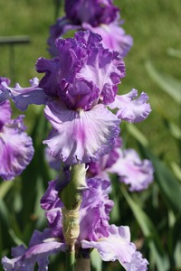 Iris, tall bearded, 'living picture'