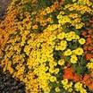 Marigolds_tagetes_tenuifolia_signet_starfire-1.thumb