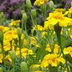 Marigolds_tagetes_patula_x_erecta_summer_splash.thumb