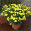 Marigolds_tagetes_patula_x_erecta_summer_splash-1.thumb