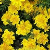Marigolds_tagetes_patula_x_erecta_summer_splash-2.thumb