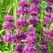 Herbs_monarda_bergamo.thumb
