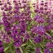 Herbs_monarda_bergamo-1.thumb