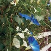Morning_glory_ipomoea_tricolor_mailbox_mix-1.thumb