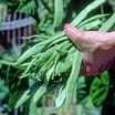 climbing French bean