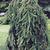 Spruce: Picea abies 'Pendula'