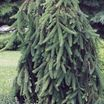 Weeping_norway_spruce.thumb