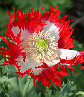 Papaver_danebrog_close_poppy.large
