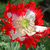 Papaver_danebrog_close_poppy.small