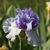Iris: iris germanica 'song writer'