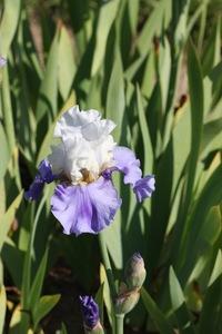 Iris, tall bearded, 'stairway to heaven'