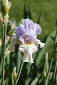 Iris, tall bearded, 'yaquina blue'