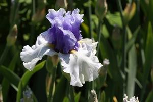 Iris, tall bearded, 'alpenview'