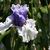 Iris: iris germanica 'alpenview'