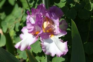 Iris, tall bearded, 'artic age'