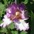 Iris: iris germanica 'artic age'
