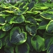 Hosta, 'Frances Williams'