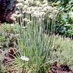 Chives_allium_tuberosum_garlic-1.thumb