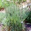 Chives_allium_tuberosum_garlic-2.thumb