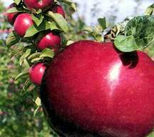 Apple Tree, Dwarf 'Starkspur® Ultramac'™