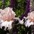 Iris: iris germanica 'celebration song'
