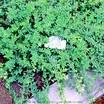 Oregano_origanum_vulgare_subsp._hirtum-1.thumb
