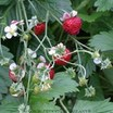 Strawberry_fragaria_vesca_mignonette-2.thumb