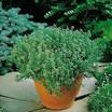 Thyme_thymus_vulgaris-2.thumb