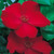 Modern_roses_rosa_altissimo-1.small