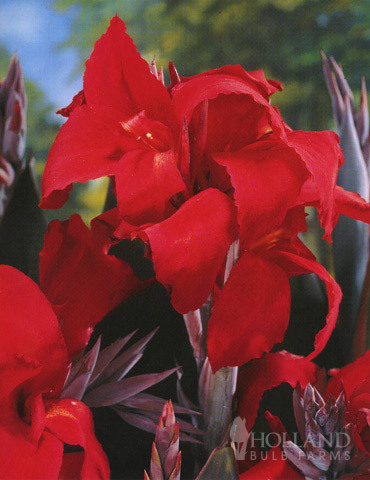 Cannas_canna_x_black_knight.full