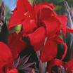 Cannas_canna_x_black_knight.thumb