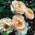 Modern_roses_rosa_belle_story-1.small