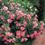 Modern_roses_rosa_bonica-1.small