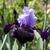 Iris: iris germanica 'dangerous mood'