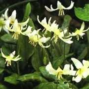 Bulbs_erythronium_revolutum_var._white_beauty-2.full