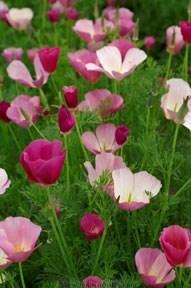 Poppy-rose5.full