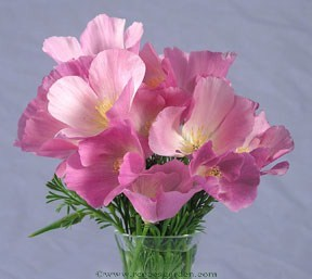 Poppy-rose1.full