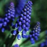 Hyacinth, Grape 'Cantab'