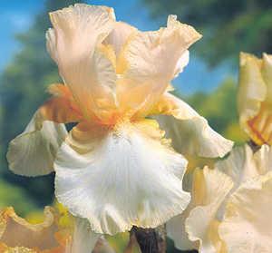 Iris, Bearded 'Ginger Swirl'