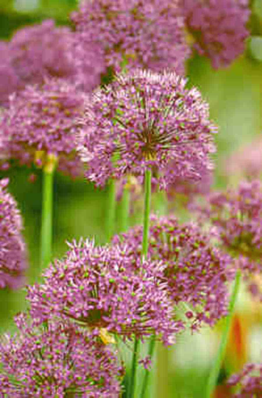 Allium_purple_sensation.full