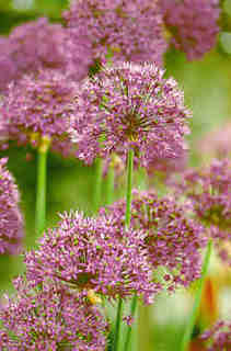 Allium_purple_sensation.large