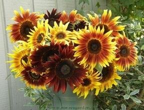 Sunflower-royal4.full