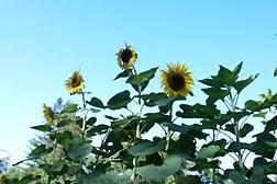 Sunflower-titan3jpg.full