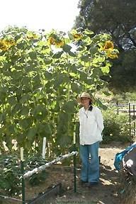 Sunflower-titan1.full