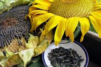 Sunflower-snack.full